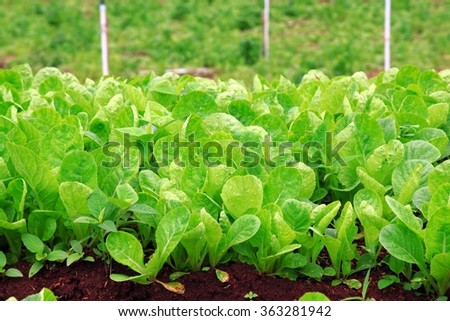 Infant Green Lettuce Vegetable with Soil - stock photo