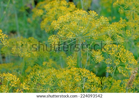 Inflorescence dill close-up as background plant                                - stock photo
