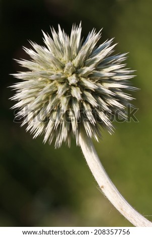 inflorescence Echinops vertical  close up outdoors  - stock photo