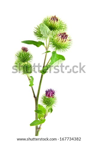 Inflorescence of Greater Burdock. on white background. One picture from series. - stock photo