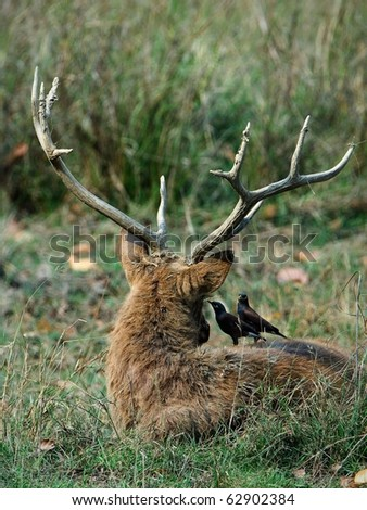 Inform.A Swamp Deer or Barasingha (Rucervus duvaucelii) and two yellow-billed oxpeckers. Kanha National Park. - stock photo