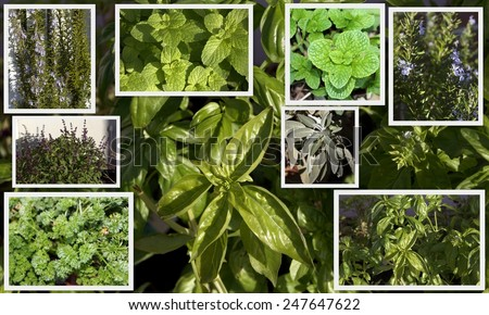 Informative collage of some common herbs -mint, sage, parsley, rosemary, Thai basil, sweet basil-easily grown , either dried or fresh, adding flavor and vitamins to many culinary dishes.