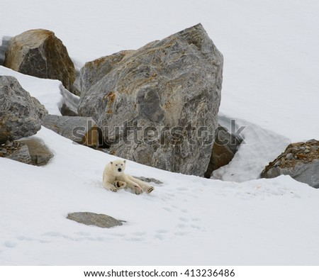 Injured bear at Smeerenburg, Svalbard (Ursus maritimes) - stock photo