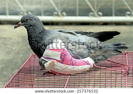 Injured birds, Pigeon with a broken wing, Little young bird, Pigeon, Doves. - stock photo