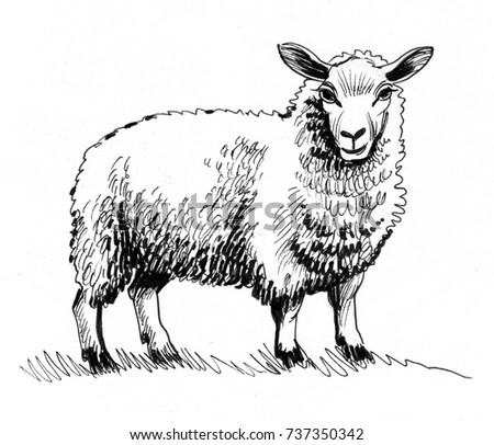 ink sketch of a sheep