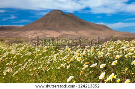 inland northern Fuerteventura, garland Chrysamthemum flower after winter rains around Montana de la Mareta