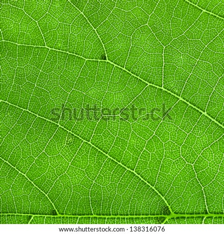 innervation of the new green leaf - stock photo