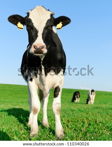Inquisitive black and white Holstein Friesian cow - stock photo
