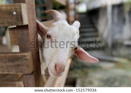 Inquisitive Goat