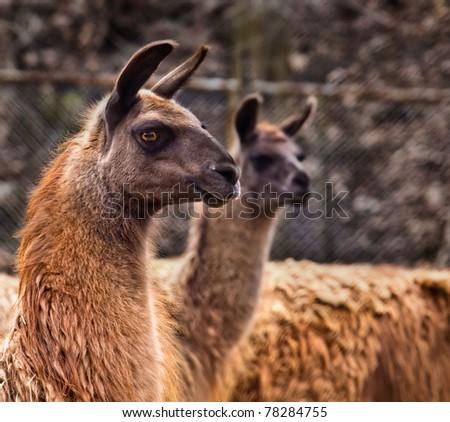 Inquisitive llama - stock photo