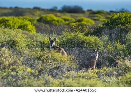 Inquisitive Western grey kangaroo, kangaroo standing in the green grass near Western Australia on a sunny autumn morning  - stock photo