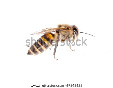 insect bee isolated on white - stock photo