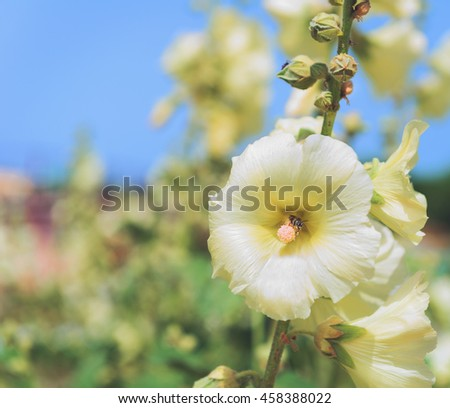 Insect bee pollinates flower white mallow in the garden with flowers mallows - stock photo