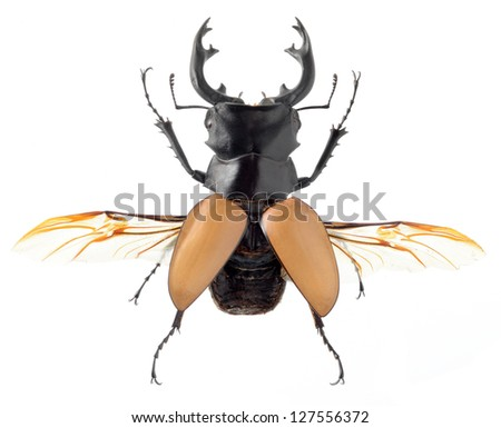 insect, beetle, bug, Odontolabis mouhotii parry, isolated on white - stock photo