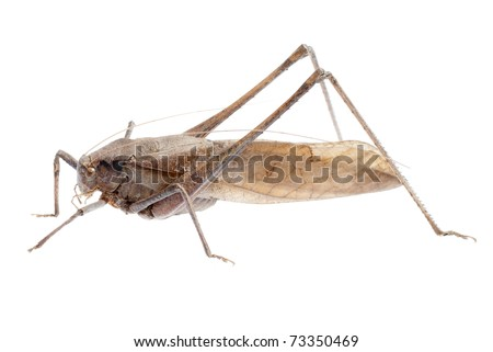insect brown katydid isolated on white - stock photo