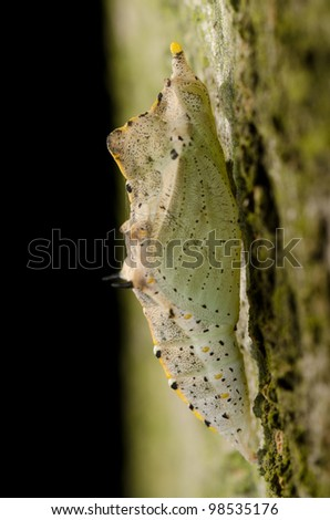 insect butterfly cocoon on green tree trunk surface - stock photo