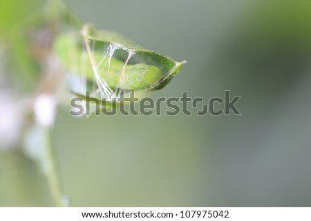 insect caterpillar building cocoon from it's web and leaf - stock photo