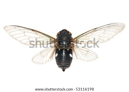 insect cicada isolated in white