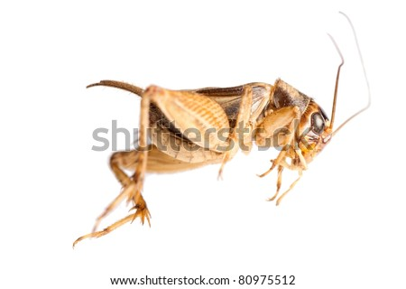 insect cricket isolated on white - stock photo