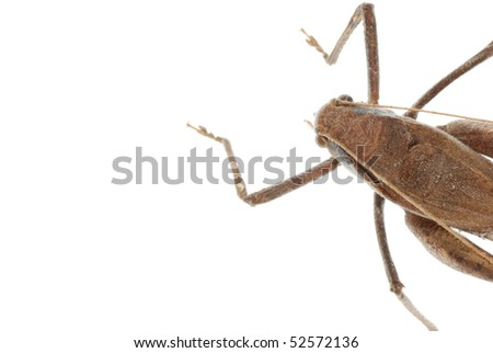 insect katydid isolated