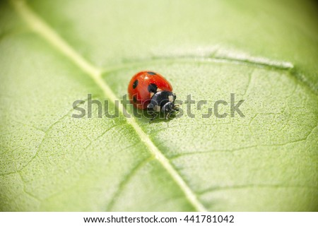 insect ladybug crawling on a green leaf of a plant in the summer in June - stock photo