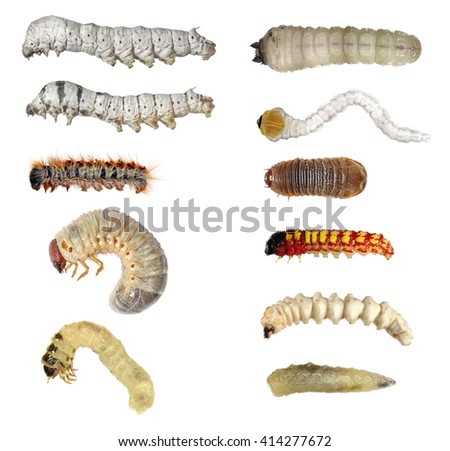 Insect larvae (caterpillars): moth, butterfly, cockchafer, fly, silkworm, longhorn beetle, snout beetle, scarab beetle and jewel beetle isolated on a white background - stock photo