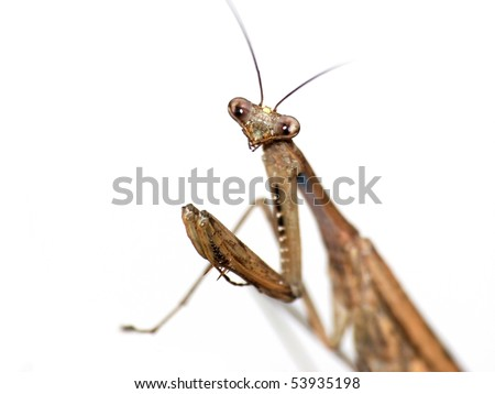 insect mantis - stock photo