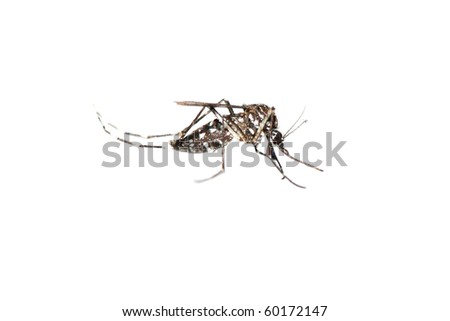 insect mosquito bug isolated on white background - stock photo