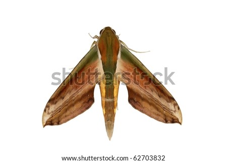 insect moth isolated on white background - stock photo