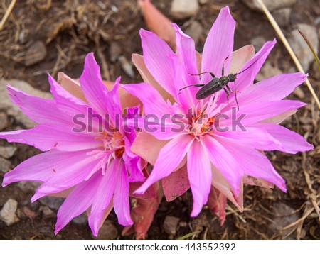 Insect on a Montana Bitterroot Flower at the National Bison Range in Montana USA - stock photo