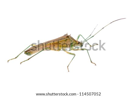 insect stink bug isolated on white - stock photo