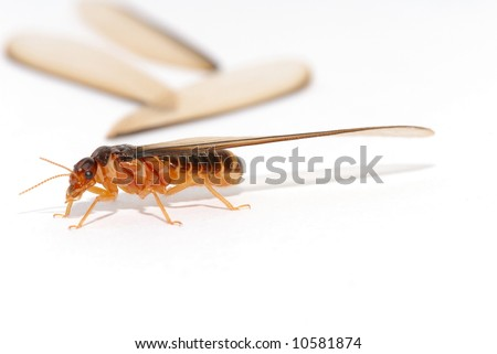 Insect Termite Queen on white background .