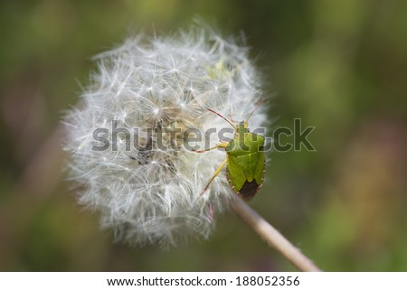 Insect walks on a dandelion in the garden - stock photo