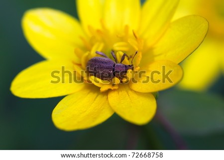 Insect - weevil lying on yellow flower - stock photo