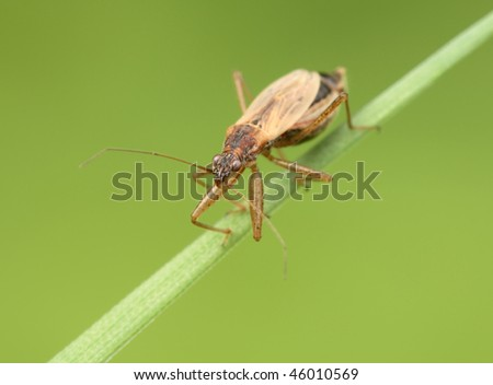 Insecta  /  Hemiptera  /  Nabidae  /  Nabis rugosus   Bedbug sits on a blade of grass. - stock photo