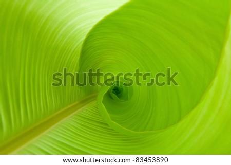 Inside a banana leaf - stock photo