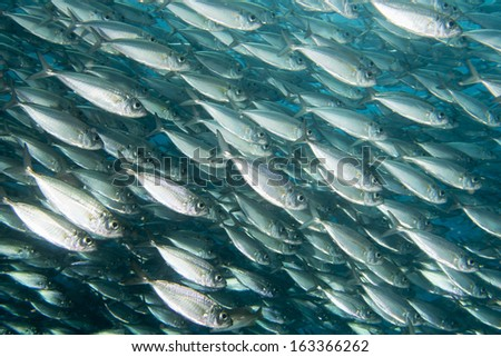 Inside a sardine school of fish close up in the deep blue sea - stock photo