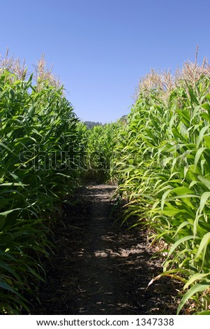 Inside of a corn maze. - stock photo