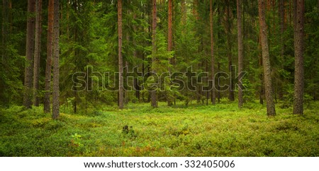 inside of the forest with pines, spruces and blackberry - stock photo
