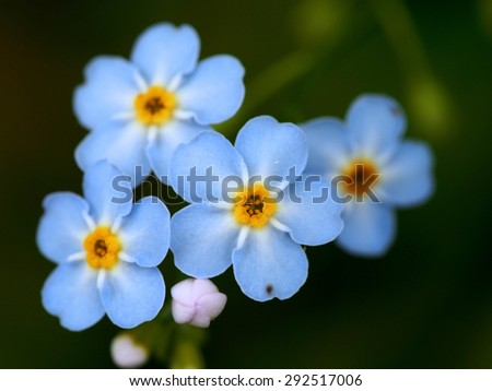 Inside the Flower - Forget-Me-Not - stock photo