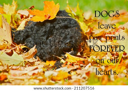 Inspirational quote on a dog's love by an unkonown author with an adorable black miniature poodle frolicking in the autumn leaves. - stock photo