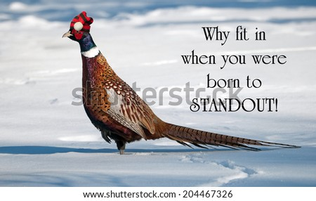 Inspirational quote on individuality by Dr. Suess with a male ring necked pheasant proudly wearing his Christmas hat, strutting his stuff in the winter. - stock photo
