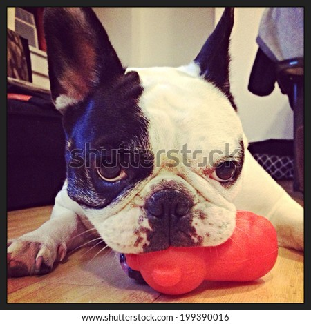 Instagram filtered image of a cute black and white pied French Bulldog in New York City.