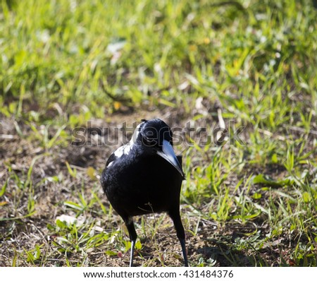 Intelligent black and white juvenile  Australian magpie (Cracticus tibicen) member of  Corvidae family standing in the grass  in early winter  is looking for food such as big juicy grubs to eat.