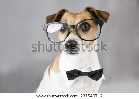 intelligent dog Jack Russell terrier with glasses ,bow tie and white collar. Gray background  - stock photo