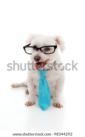 Intelligent looking maltese terrier wears a blue tie and black rim eye glasses.  White background. - stock photo
