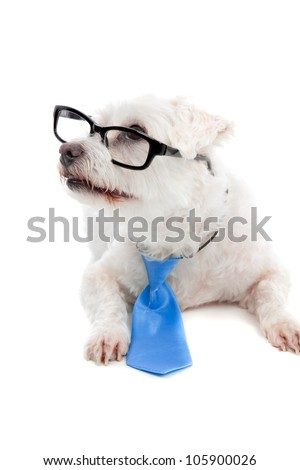 Intelligent pet dog attentive looking up.  White background. - stock photo