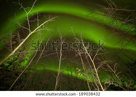 Intense green northern lights swirls or Aurora borealis dancing on starry night sky over boreal forest taiga bare aspen trees, Yukon Territory, Canada - stock photo