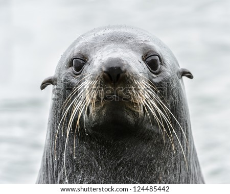 Intense look of an Atlantic seal. South Georgia, South Atlantic Ocean. - stock photo