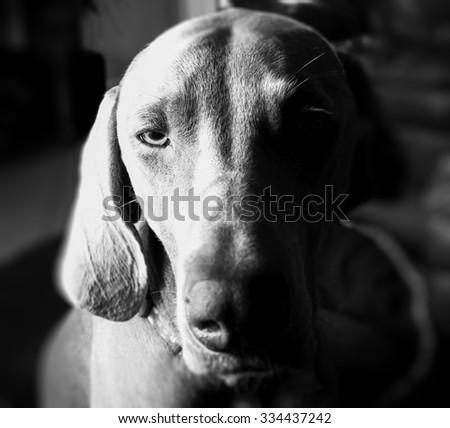 Intense Staring Weimeraner - stock photo